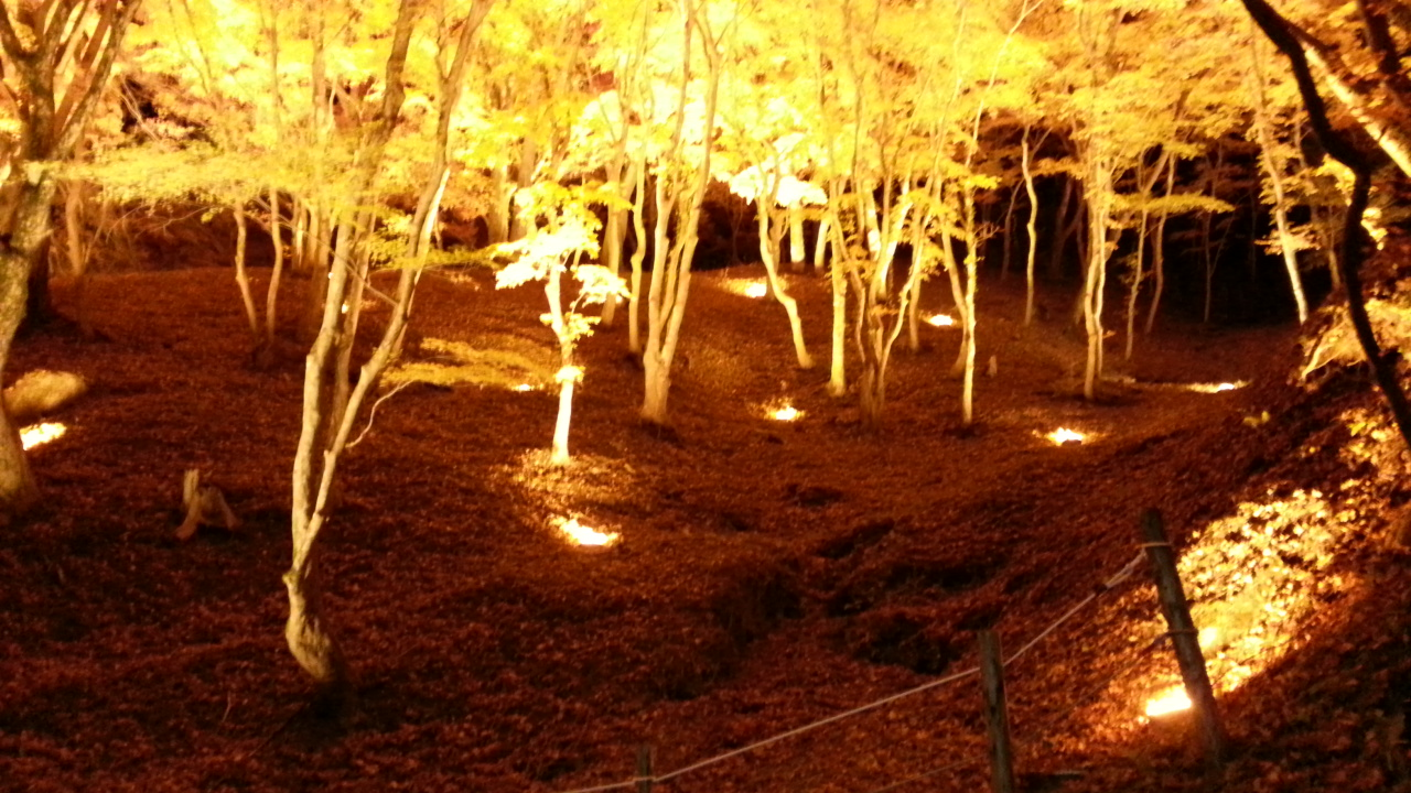 The beautiful autumn leaves at Korankei lit up at night.